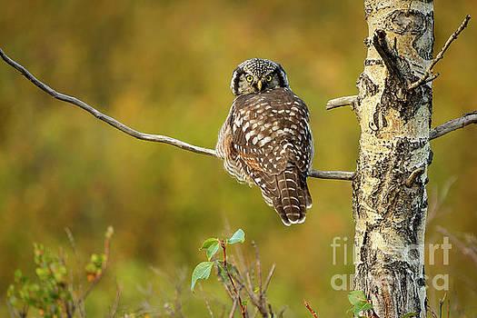 Hawk Owl by Aaron Whittemore