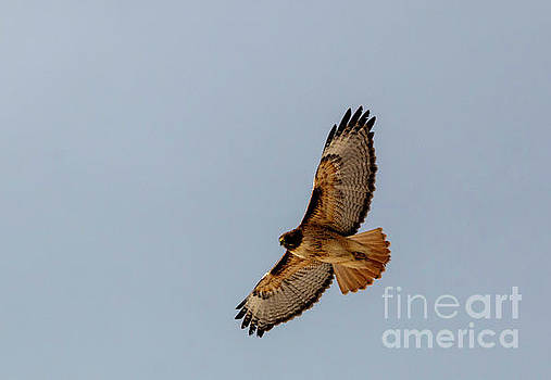 Steve Krull - Hawk Soaring Above the Rockies