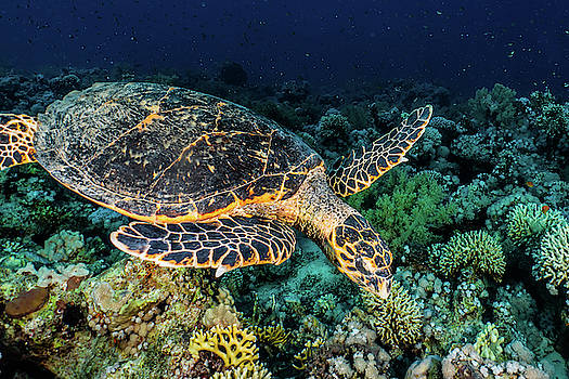Hawksbill sea turtle in the Red Sea by Avner Efrati