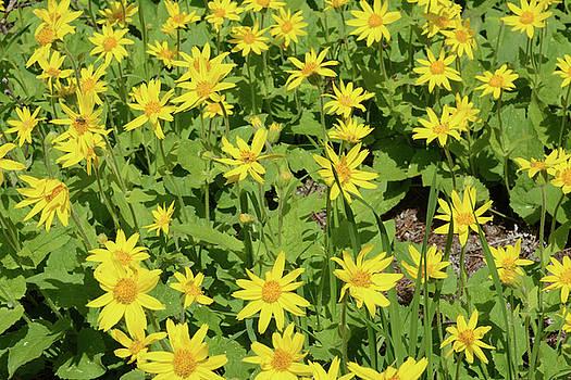 Whispering Peaks Photography - Heartleaf Arnica or Arnica cordifolia