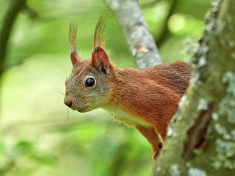 Hello there. Red squirrel by Jouko Lehto