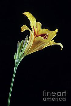 Hemerocallis Bonanza by John Edwards