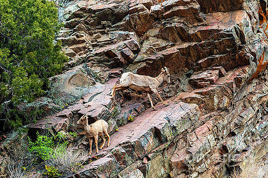 Steve Krull - Herd of Bighorn Sheep at Play