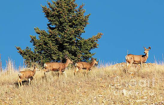 Herd of Colorado Deer by Steve Krull