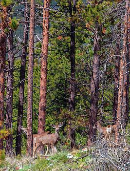 Herd of Colorado Springtime Mule Deer by Steve Krull
