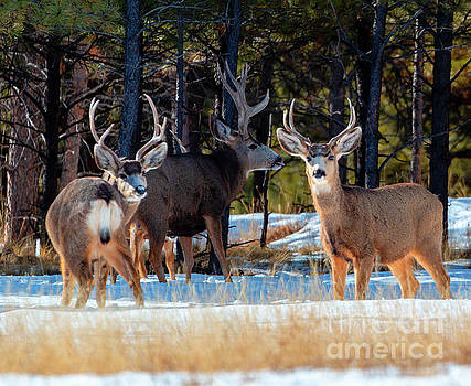 Steve Krull - Herd of Deer on a Winter Morning
