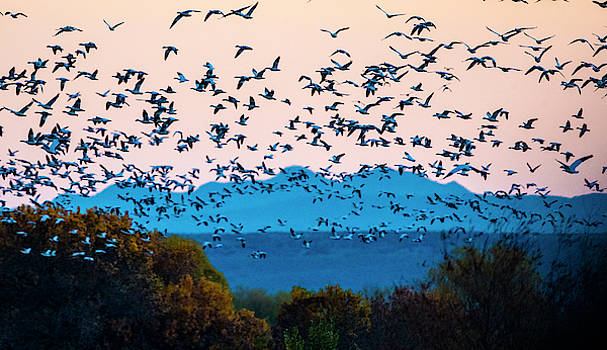 Herd Of Snow Geese In Flight, Soccoro by Panoramic Images