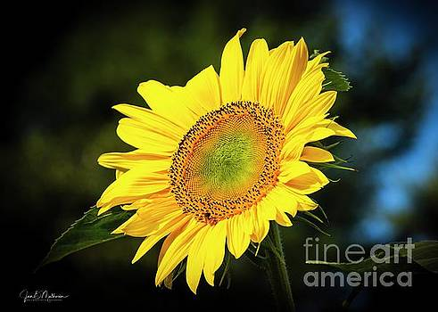 Here Comes The Sun II - Sunflower by Jan Mulherin