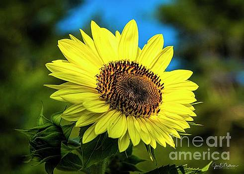 Here Comes The Sun - Sunflower by Jan Mulherin