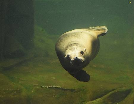 Here's Looking At You - A Seal by Carolyn Hebert