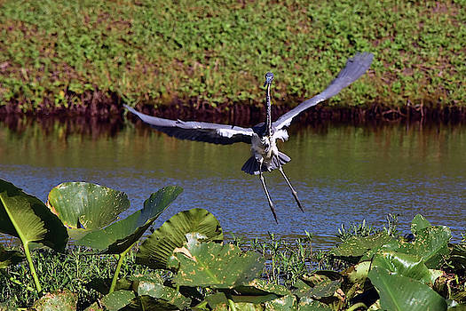 Heron Flight Is Chaos Controlled by William Tasker