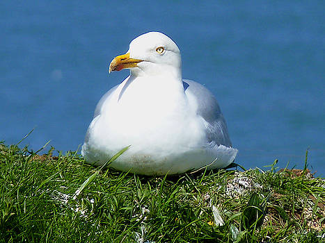 Herring Gull, Yorkshire Coast by Chris Gill