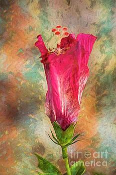 Hibiscus Dream by Deborah Benoit