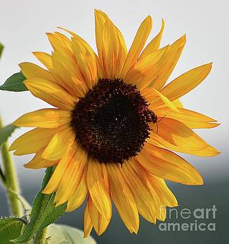 Cindy Treger - Hidden - Sunflower