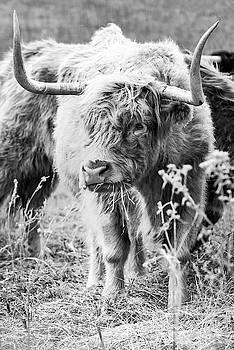 Highland Horns by Annette Persinger