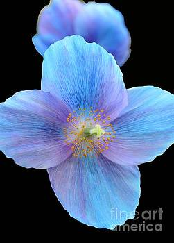 Himalayan Blue for You by Cindy Manero