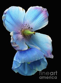 Himalayan Blue Poppy by Cindy Manero