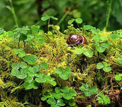 Hoh Rain Forest Snail by Jackson Ball
