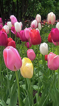Home Chicago Tulips by Cindy Boyd