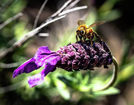 Honey Bee by Dave Prendergast