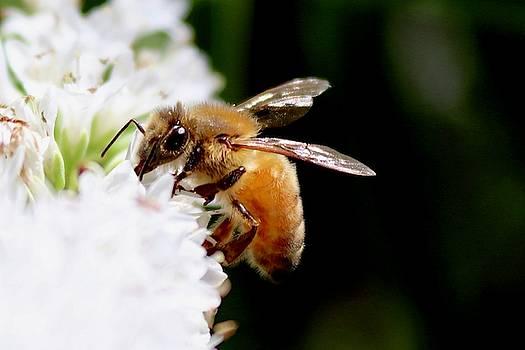 Honeybee by Sarah Lilja