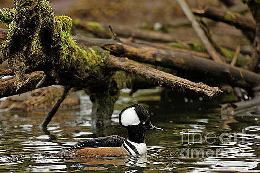 Hooded Merganser in Ridgefield  by Natural Focal Point Photography