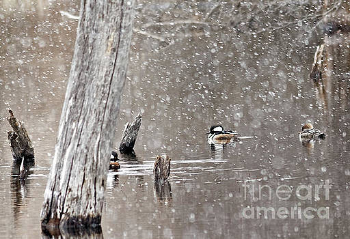 Hooded Mergansers in Spring Snow by Natural Focal Point Photography