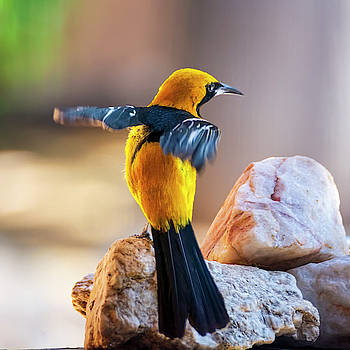 Hooded Oriole 1942 by Mark Myhaver