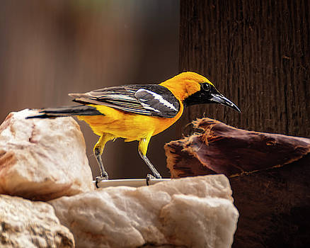 Hooded Oriole h1913 by Mark Myhaver