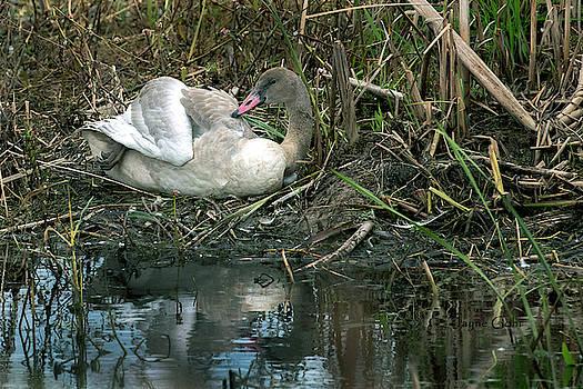 Horicon Marsh Swan by Jayne Gohr