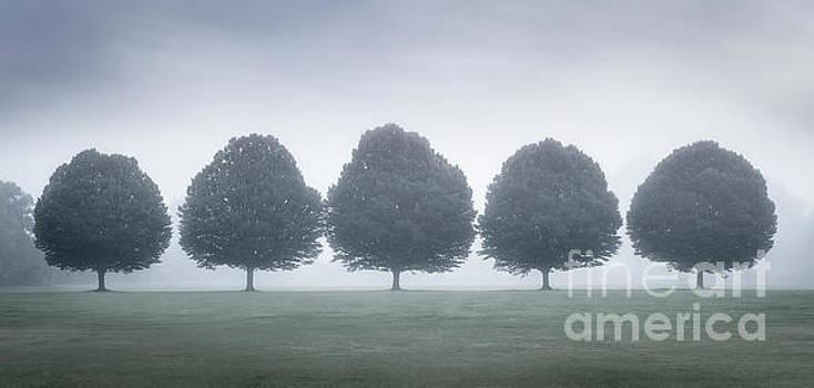 Hornbeams with mist by Colin Roberts