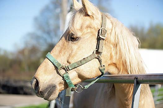 Horse Portrait by Diane Schuler