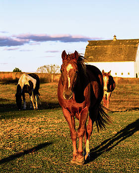Horses and  a Mule by Rick Grisolano Photography LLC