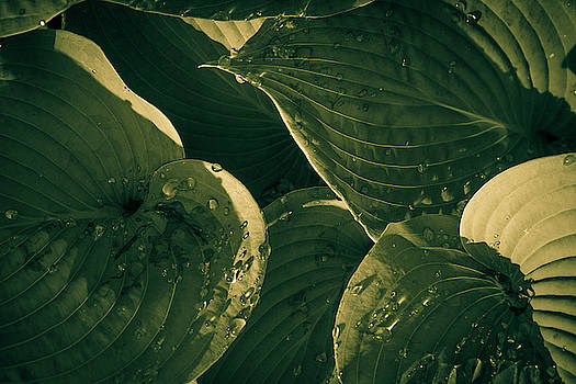 Hosta and Raindrops by Bruce Davis