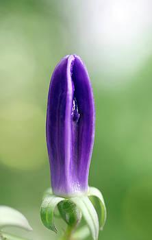 Hosta Undulata Mediovariegata Flower Bud by Johanna Hurmerinta