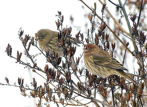 House Finch Pair by Will Borden