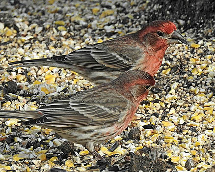 House Finches by Kathy M Krause