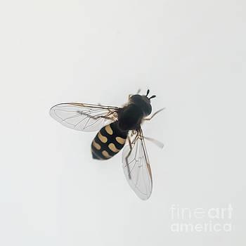 Hoverfly Syrphus ribesii j1 by Ilan Rosen