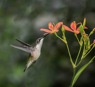 Hovering Hummingbird by Mary Lynn Giacomini