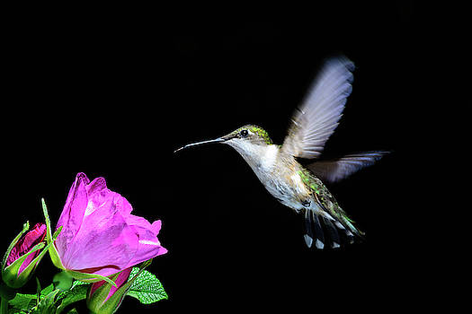 Hummer with wild rose by John Wilkinson