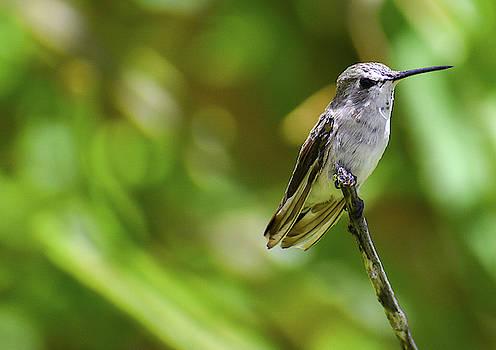 Hummingbird 1 by Melisa Elliott