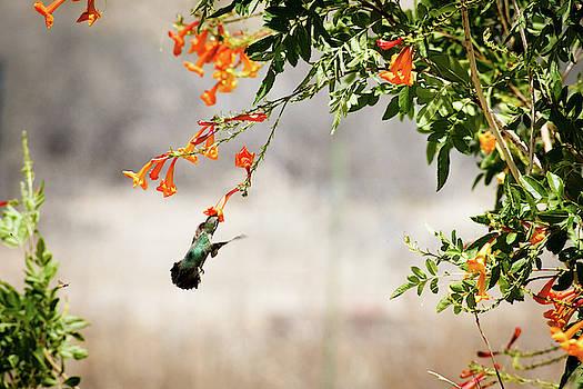 Hummingbird by Cyndi Hardy