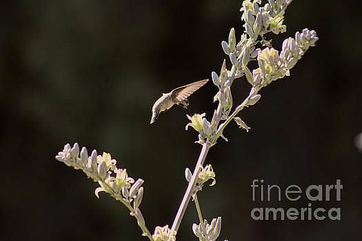 Hummingbird Drinking from Hesperaloe Parviflora Flower by Colleen Cornelius