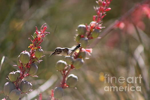 Hummingbird Flying To Red Yucca 1 in 3 by Colleen Cornelius