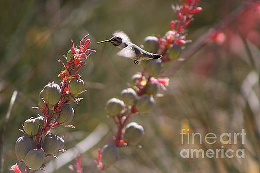 Hummingbird Flying To Red Yucca 2 in 3 by Colleen Cornelius