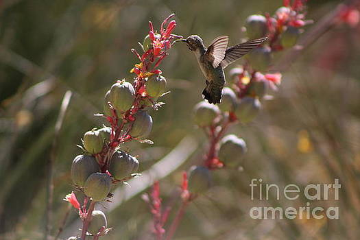 Hummingbird Flying To Red Yucca 3 in 3 by Colleen Cornelius