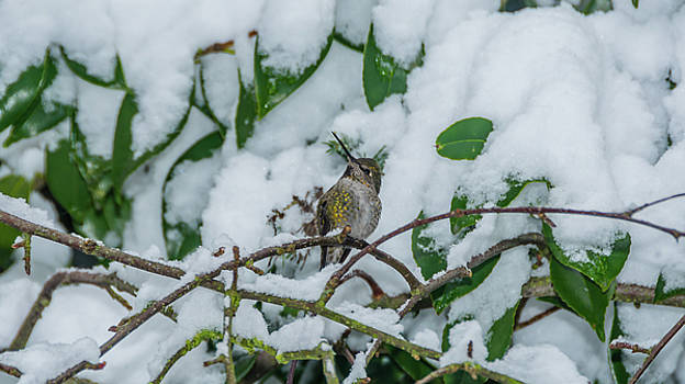 Hummingbird in Winter by Marv Vandehey