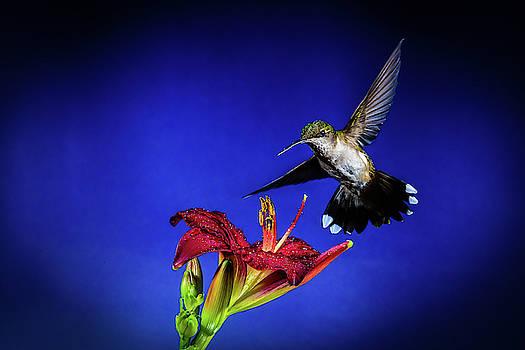 Hummingbird on Iris by John Wilkinson