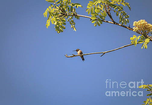 Hummingbird resting by Claudia M Photography