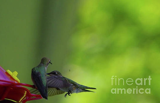 Hummingbirds At The Sugar Watering Hole by Jeff Swan